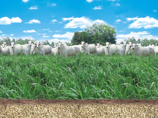 pasto-gado-pastando