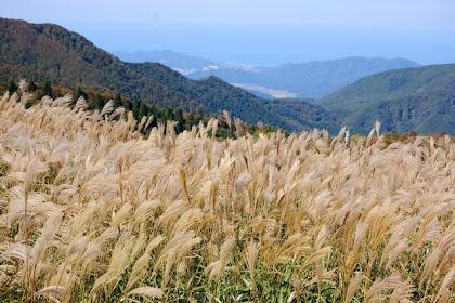 上山高原 ススキ