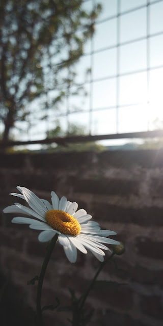 Lonely daisy in the sunshine
