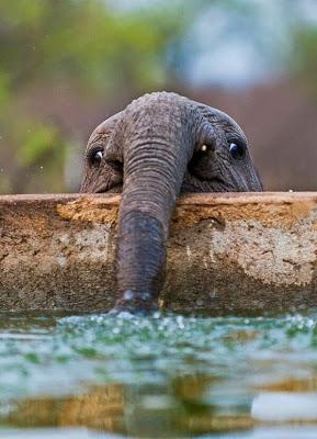fotografia de elefantito bebiendo agua