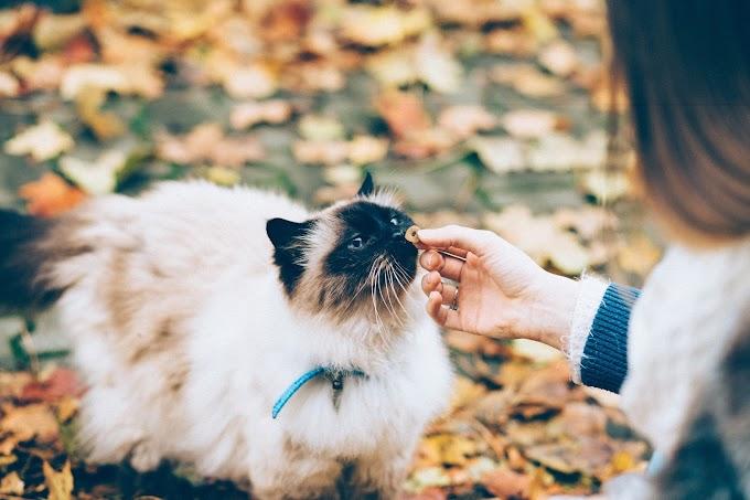 Comment prendre soin d'un chat Birman