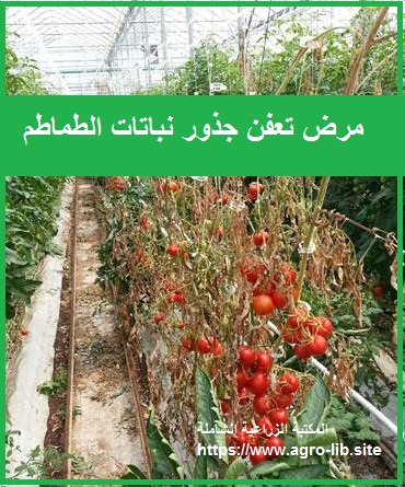 مرض تعفن جذور الطماطم BUCKEYE FRUIT AND ROOT ROT