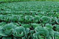 tanaman,hortikultura,peluang usaha,budidaya,lmga agro