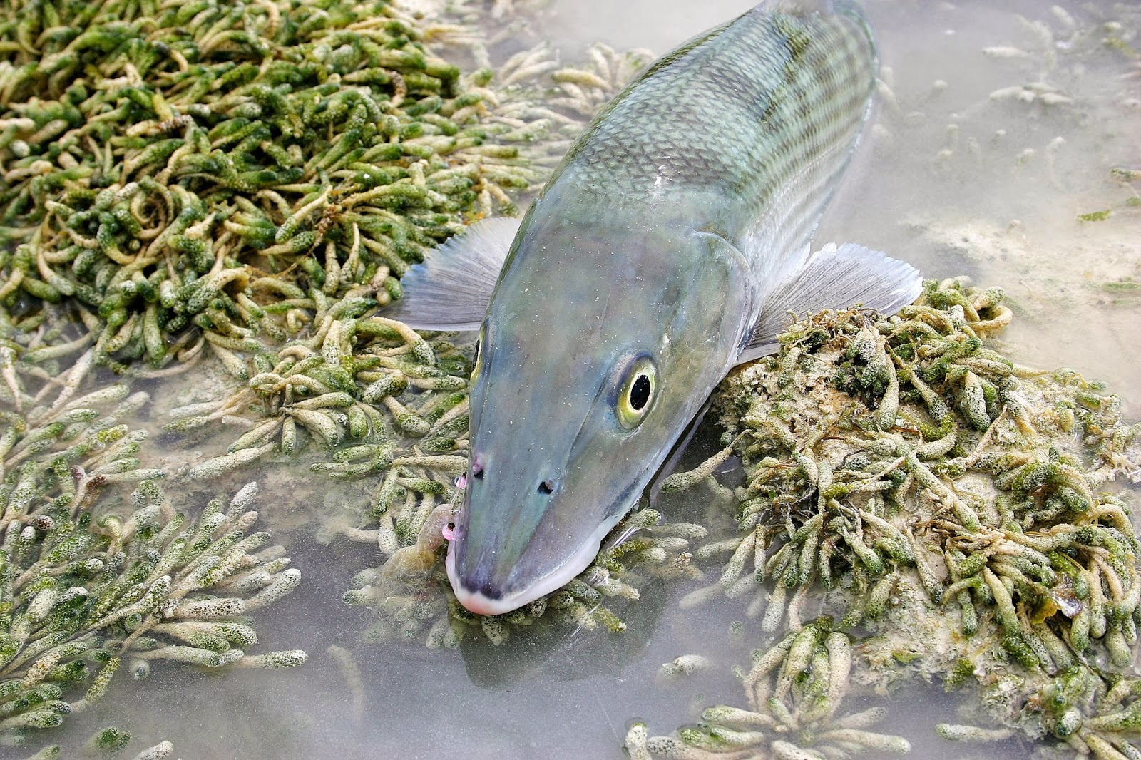 ceda7255d9ac Fly Paper  Bonefish 101  A Few Hints to Improve Your Bonefishing