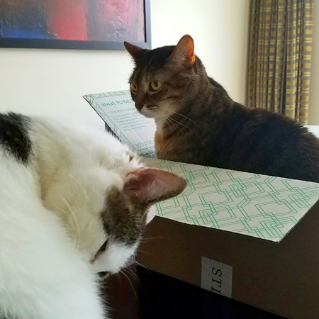 image of Sophie the Torbie Cat sitting in a cardboard box on the dining room table, while Olivia the White Farm Cat grooms herself nearby
