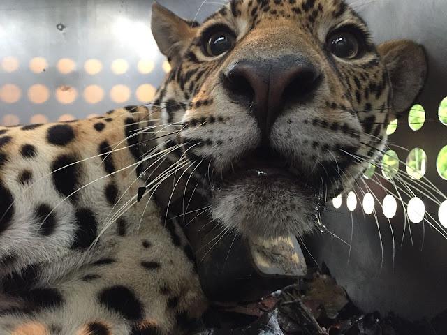 D´yaira, la jaguar valiente, que hizo historia en el Ecuador y en el mundo vuelve a su hábitat natural
