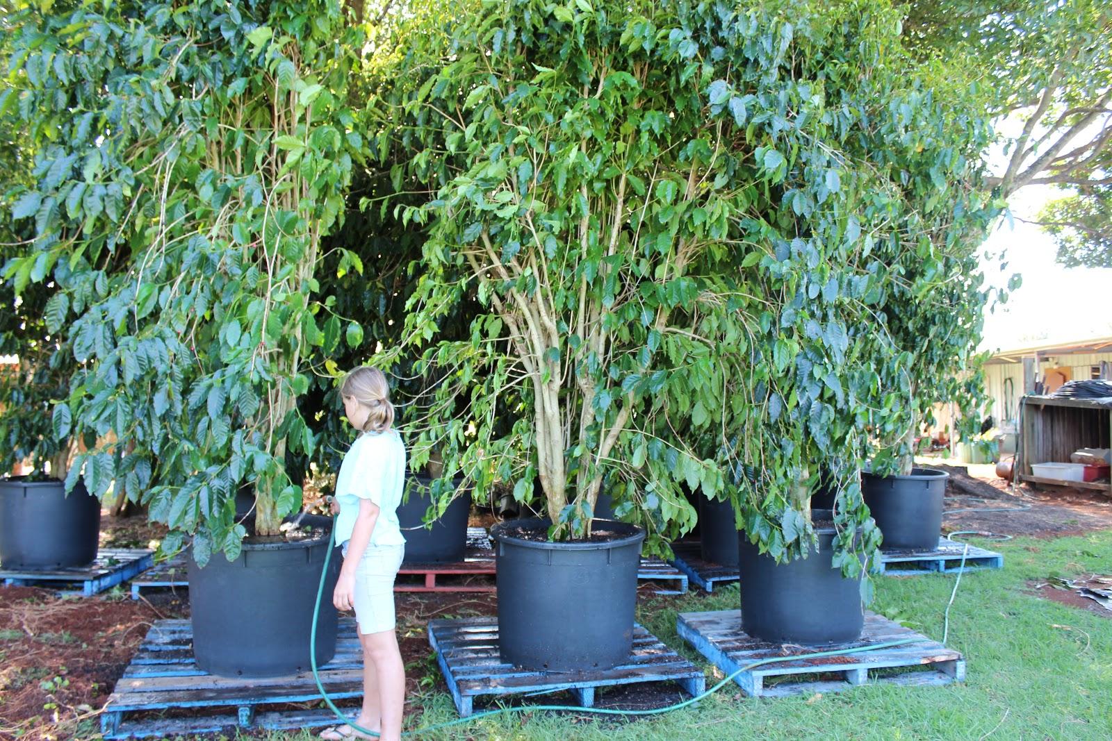 trees nurseries Mature