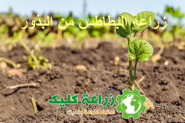 زراعة البطاطس من البذور