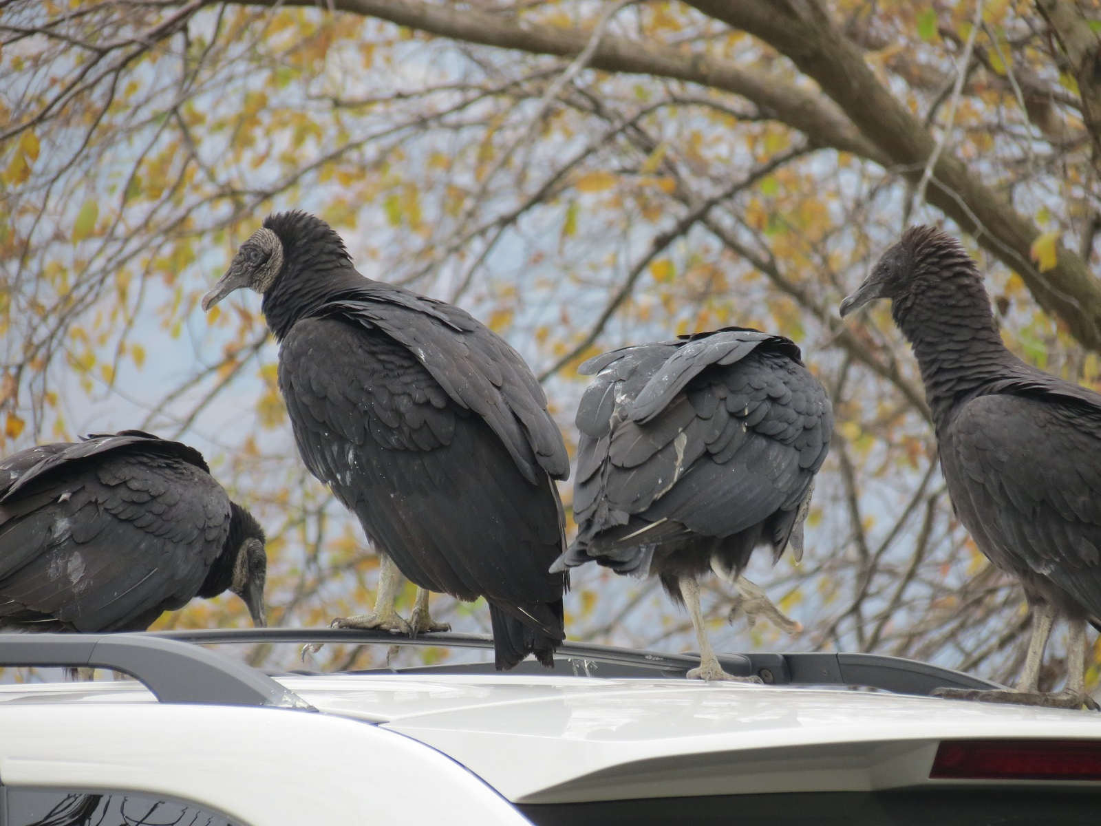 Viewing Nature With Eileen Black Vultures