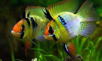 Ikan Ramirezi Balon