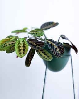 Maranta leuconeura a la venta online en Instinto Planternal