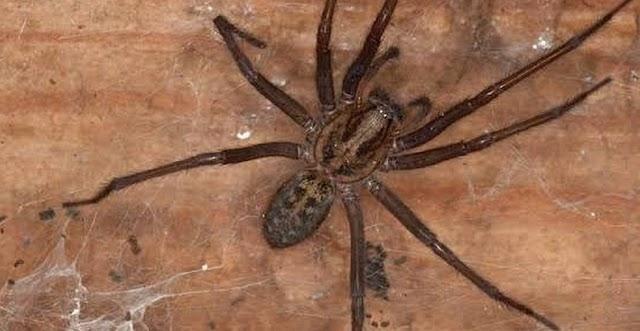 हाथ के आकार की मकड़ियों को अपने घर में आने वाले साथी और उन्हें दूर रखने के टिप्स के बारे में बताते हैं