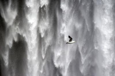 Les oiseaux d'Islande