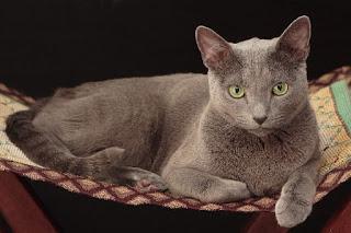 Russian Blue-Cat