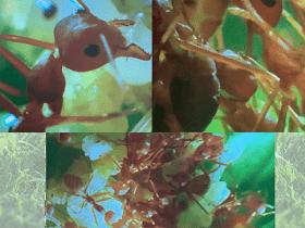 Insectos Sociales ejemplo Hormigas