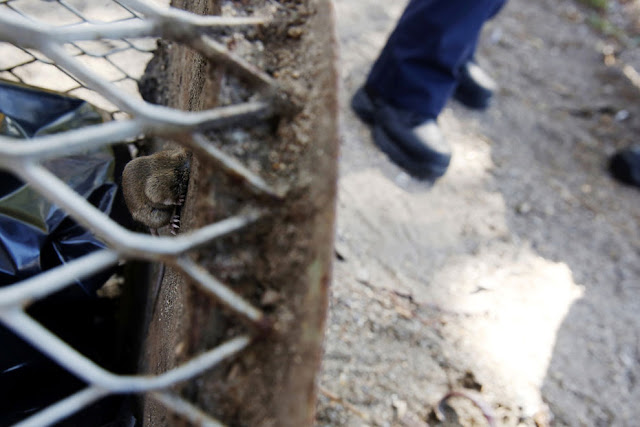 Kasihan! Tikus ini Viral Gara-gara Terjebak di Lubang Tong Sampah