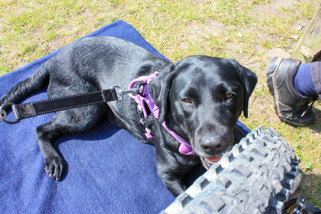 Liggy, my black labrador, lying on a blue mat next to my trike. Her tongue is out, panting, as it is really sunny and hot.