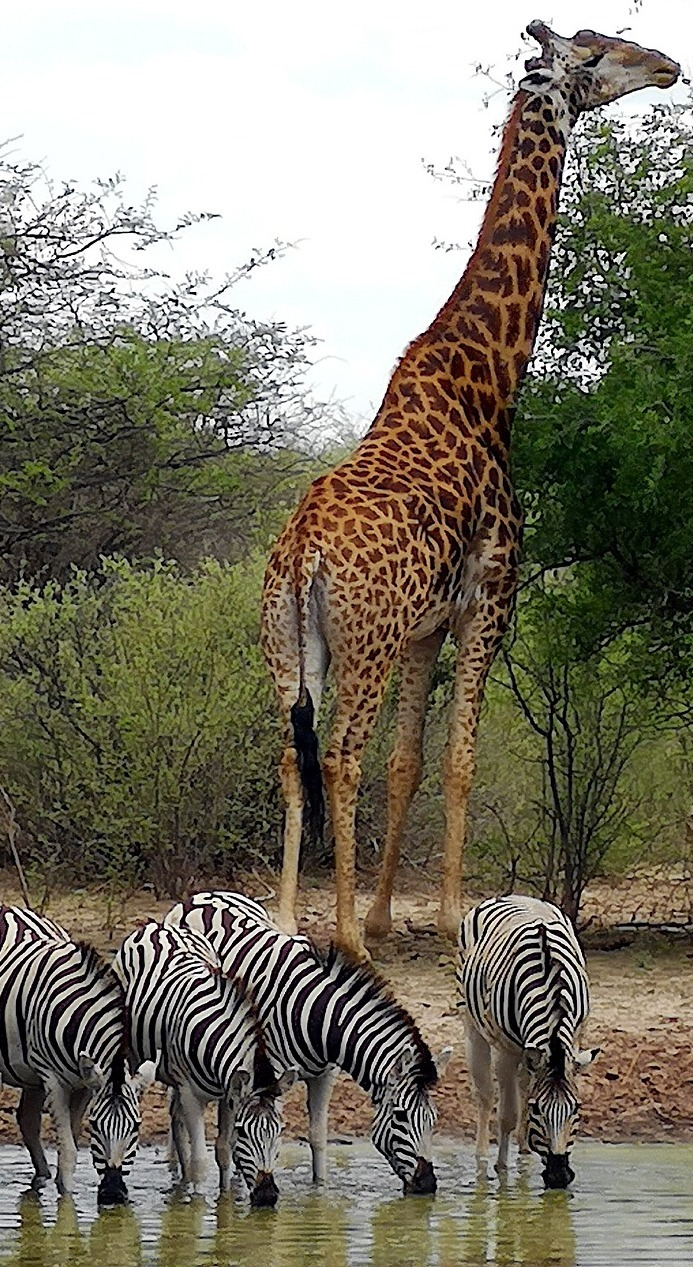 Giraffe and zebras.