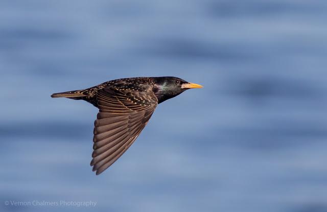 Common Starling in Flight over the Diep River, Woodbridge Island