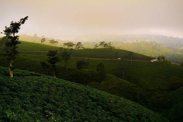 foto pemandangan kebun teh kemuning