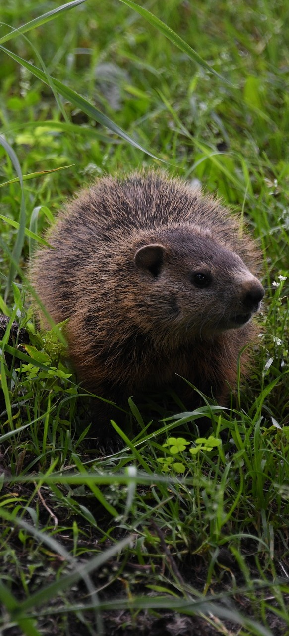 Picture of a cute groundhog.