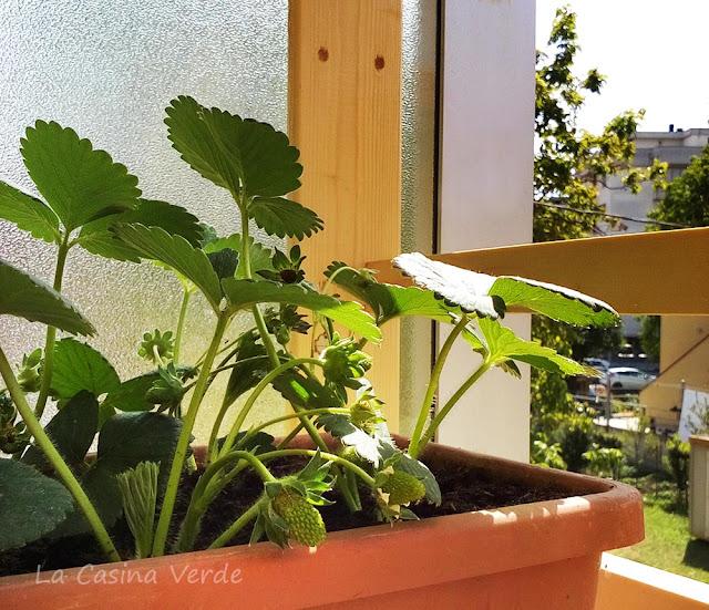 fragole sul balcone