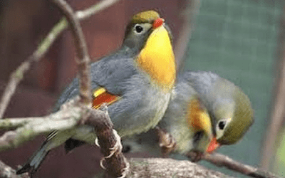 burung panca warna sepasang