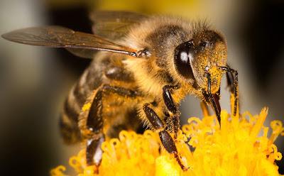 bal arıları hakkında, dişi arılar çalışır