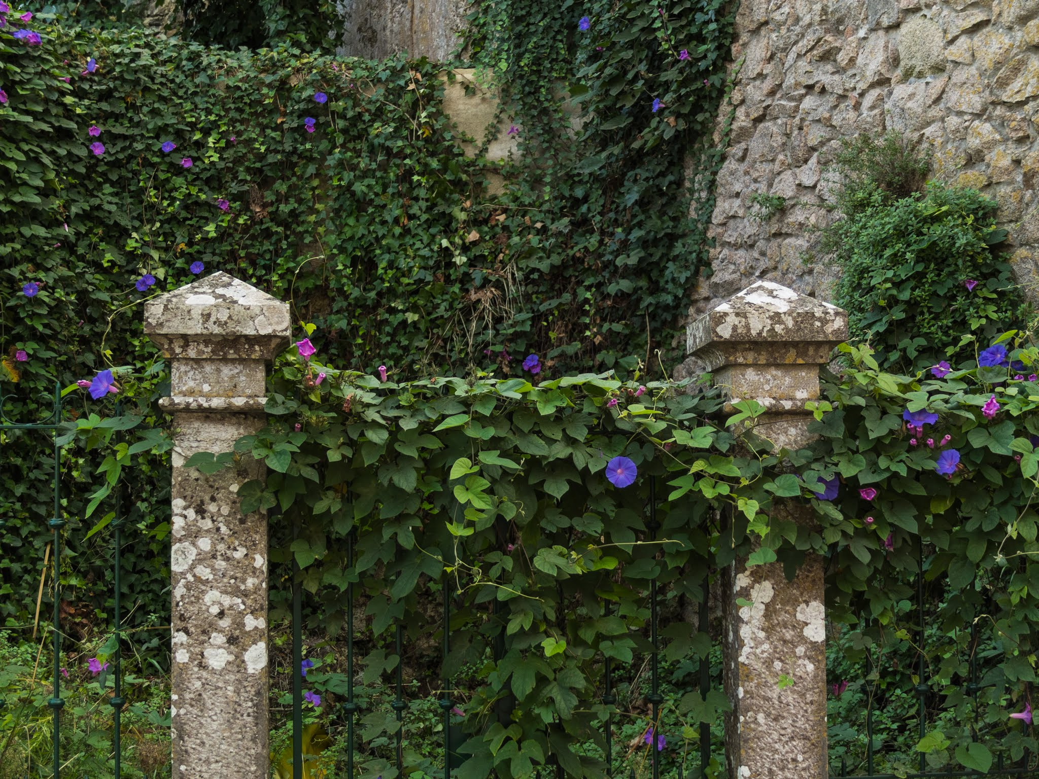Purple Ivy flowers covering a gate and walls in Sintra, Portugal.