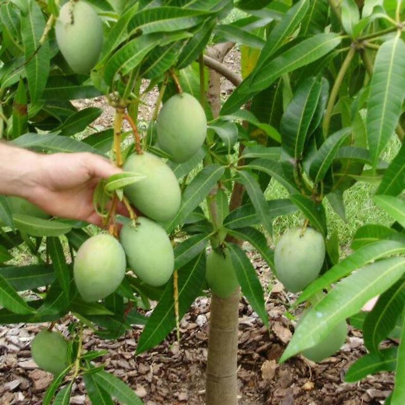 Bibit buah mangga alpukat Jawa Barat