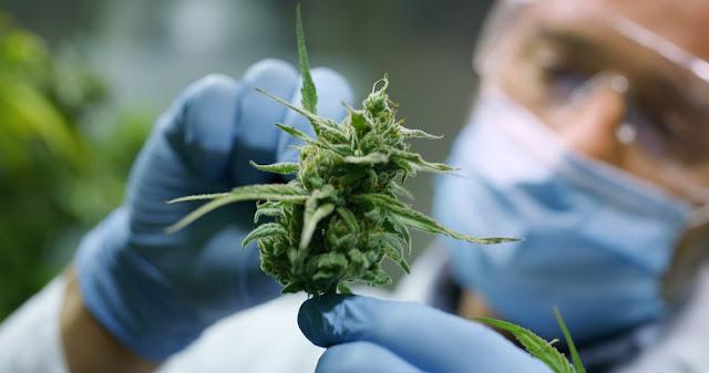 Myths About Cannabis
