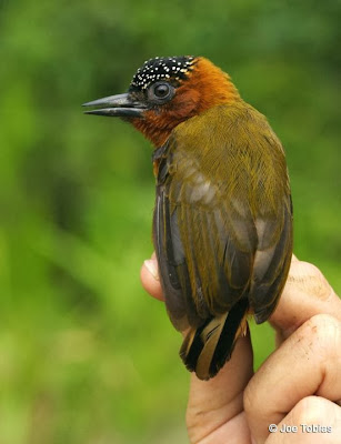 Rufous breasted Piculet