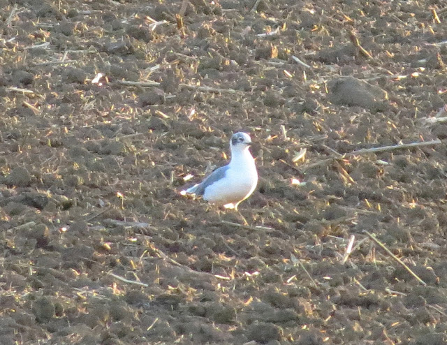 Franklin's Gull - Whittle Dene Reservoirs, Northumberland