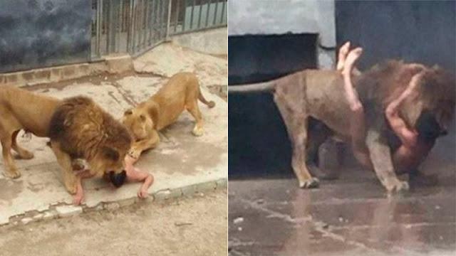 Чтобы спасти жизнь самоубийце в зоопарке Чили убили двух львов (18+)