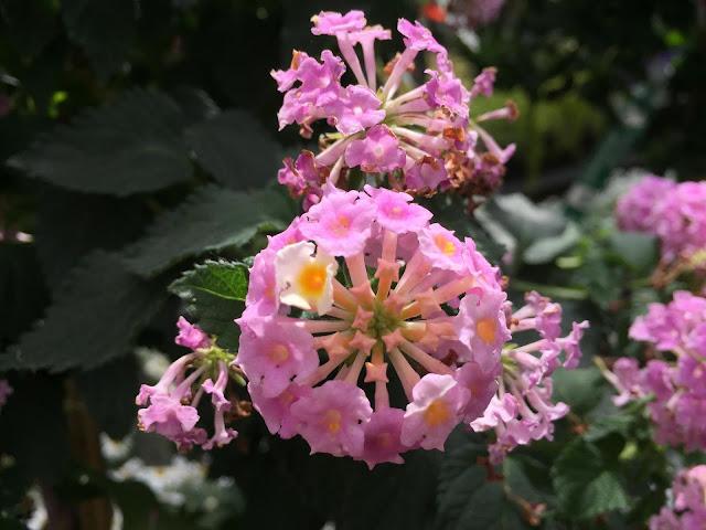 lila farbene Sommerblüte