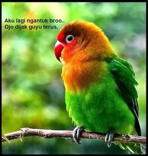 mengatasi lovebird tidak ngekek