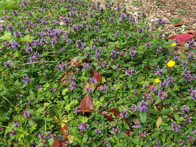 Loving my lawn - a huge carpet of purple self-heal