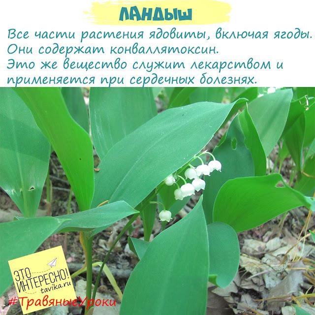 ландыш ядовитое растение