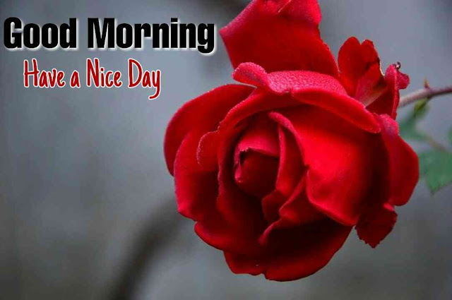 Awesome Good Morrning image with nature red rose flower have a nice day