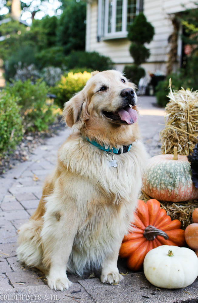 Golden retriever greeting with fall decor