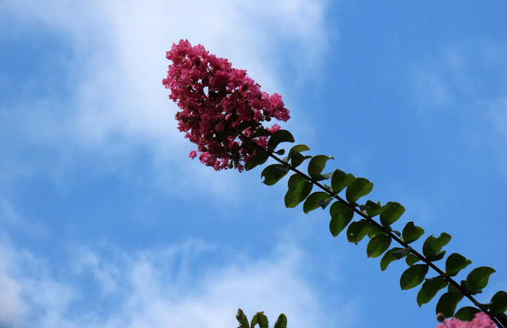 空に突き出るサルスベリの花