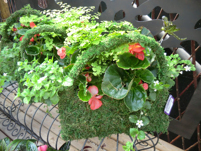 moss baskets filled with begonia plants, The Camellia