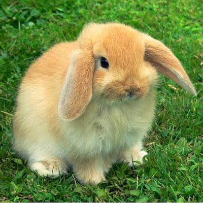 Budidaya kelinci hias