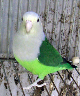 Grey-headed Lovebird or Madagascar Lovebird (Agapornis canus)