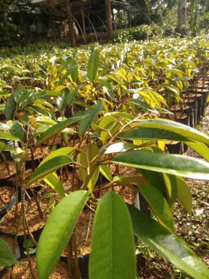 Bibit durian montong bawor kaki 3 Jawa Tengah