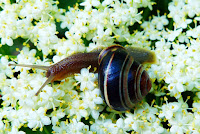 A close-up of a brown and black snail amongst white flowers. Photo by Krzysztof Niewolny on Unsplash