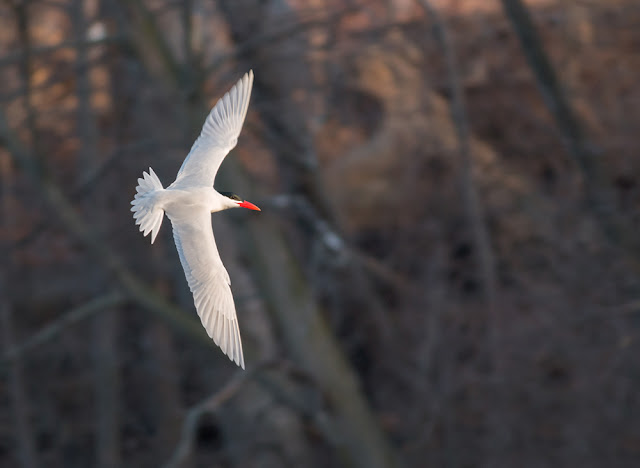 Migrating birds of Ontario - Birds in St. Catharines