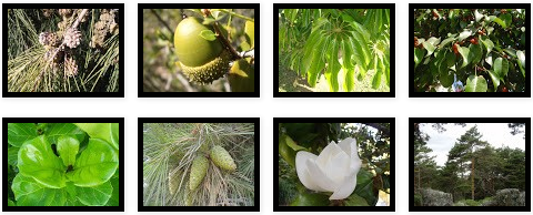 Árboles de hoja perenne