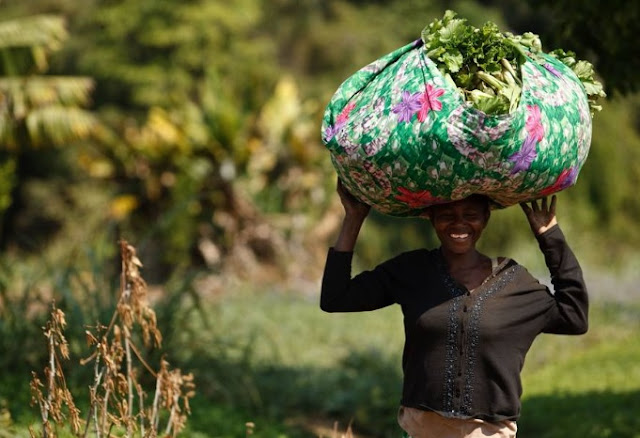 Harvesting fresh greens in Ghana Africa