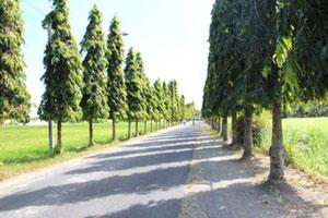 Pohon glodokan tiang tanaman peneduh